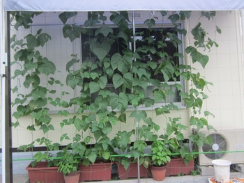 方 いんげん の 育て いんげんの育て方・栽培方法 (マメ科)