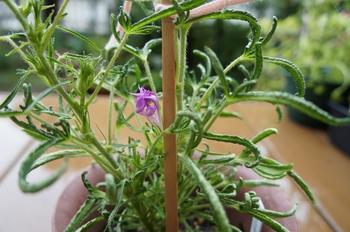 青海松葉吹詰紫細切采咲牡丹 開花のまとめ(2)