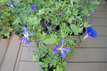 青海松葉吹詰紫細切采咲牡丹 開花のまとめ(3)