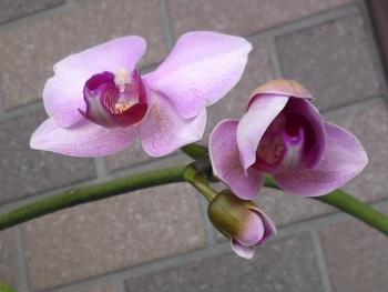 胡蝶蘭 咲き進むエリカ