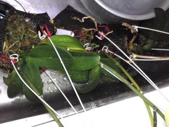 胡蝶蘭 室内の水遣り