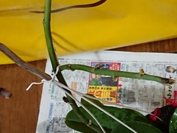 胡蝶蘭 花茎に芽?