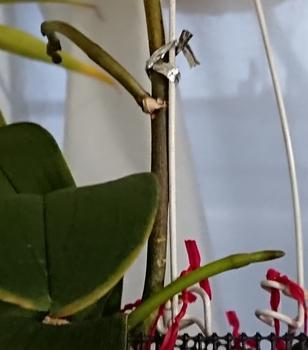 胡蝶蘭 もう1株のエリカにも花茎が2本!