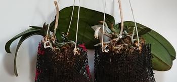 胡蝶蘭 小株は順調です