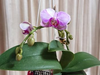 胡蝶蘭 もう1株のエリカ、開花はじまる