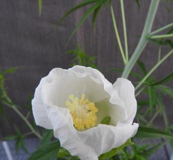 モミジアオイにタネからチャレンジ!! 早朝から開花を見る「張り込み」を開始!!