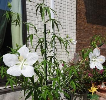 モミジアオイにタネからチャレンジ!! 3コのお花が同時に咲きました!!!