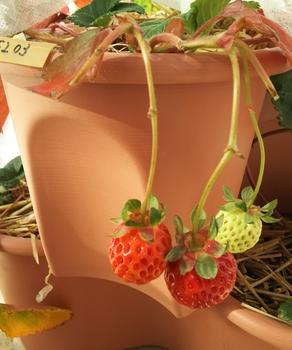 2017~2018イチゴ栽培 C1F203から4、5粒目の赤い実を収穫