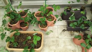2017~2018イチゴ栽培 9月3日C1とC2、P1(比較用に2本)