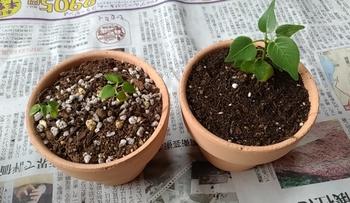 印度菩提樹 実生 植え替え
