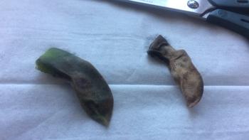 クラッスラ 神刀 葉の切除