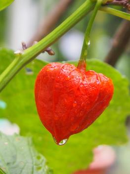 初めてのホオズキ 赤い実を楽しみたい。