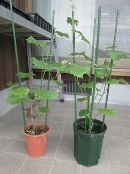 ブドウ栽培リベンジです。 ブドウ挿し木2年目