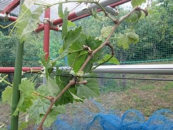 ブドウ栽培リベンジです。 チョット不器用
