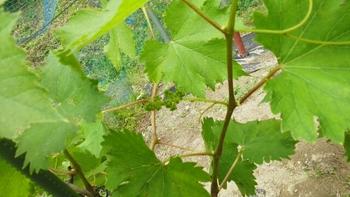 ブドウ栽培リベンジです。 巨峰の房が6㎝