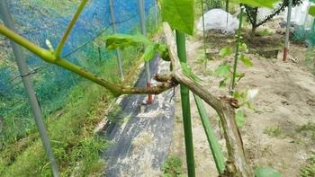ブドウ栽培リベンジです。 厄介な黒とう病