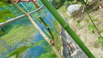 ブドウ栽培リベンジです。 黒とう病切除