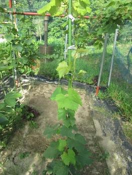 ブドウ栽培リベンジです。 紅伊豆