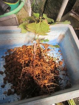 ブドウ栽培リベンジです。 紅伊豆植え替え