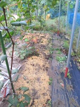 ブドウ栽培リベンジです。 ブドウ畑の土壌改良