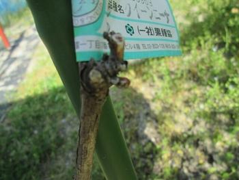 ブドウ栽培リベンジです。 クイーンニーナの新芽