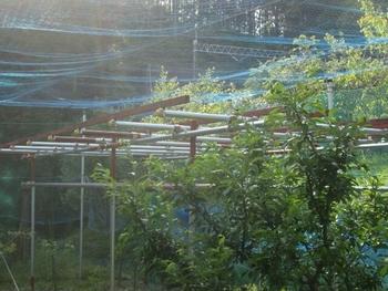 ブドウ栽培リベンジです。 ブドウ棚