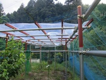 ブドウ栽培リベンジです。 矢張り駄目