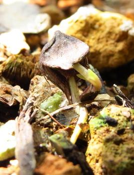 種から育てるチューリップ型のクレマチス 2月24日 1週間経過した3号