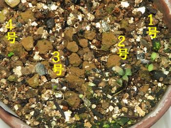 種から育てるチューリップ型のクレマチス 3月2日 6日経過して