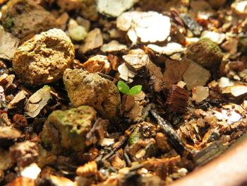 種から育てるチューリップ型のクレマチス 3月2日 お初の4号