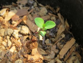 種から育てるチューリップ型のクレマチス 3月16日