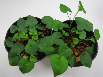 種から育てるチューリップ型のクレマチス 5月31日 4・5号