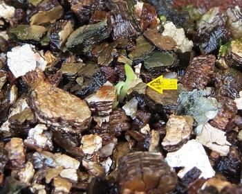 種から育てるチューリップ型のクレマチス 9月18日