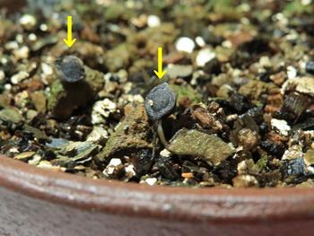 種から育てるチューリップ型のクレマチス 10月13日