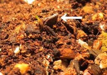 種から育てるチューリップ型のクレマチス 10月24日