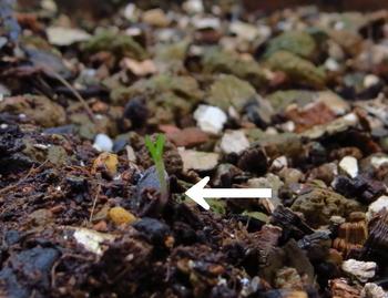 種から育てるチューリップ型のクレマチス 10月28日