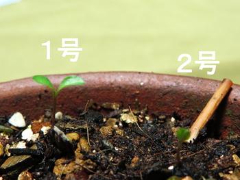 種から育てるチューリップ型のクレマチス 11月11日