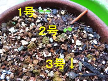 種から育てるチューリップ型のクレマチス 11月14日