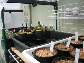 リトープス育っています 多肉植物とサボテン