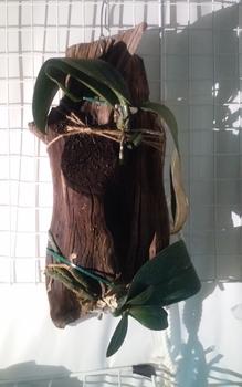 室内の着生ラン 流木栽培