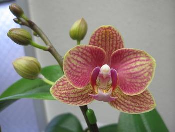 母の日ギフト 胡蝶蘭 影武者栽培日記 8分咲きぐらいでしょうか