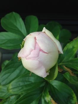 憧れのシャクヤク 花がほころぶ