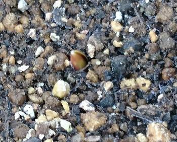 自作冷蔵チューリップへの挑戦🌷 12/17 発芽確認(植え付け約1月後)