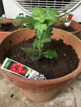 かるた(寒菊小菊) 苗を植えました