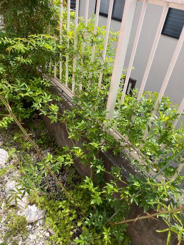 お世話になります。 苗で植えた白モッコウバラ、今春に花を少し...