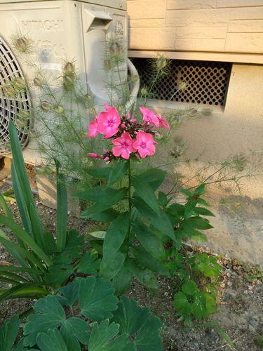 昨日咲いたのですが、この花の名前を教えてください。 丈は40...