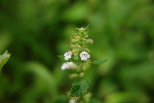 小さな花の名前を教えてください。 イヌコウジュやヒメジソのよ...