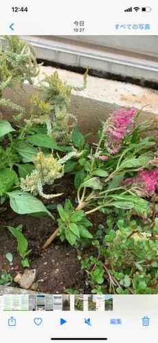 台風で倒れたケイトウやひまわりの花(まだ、咲いていない)を立...