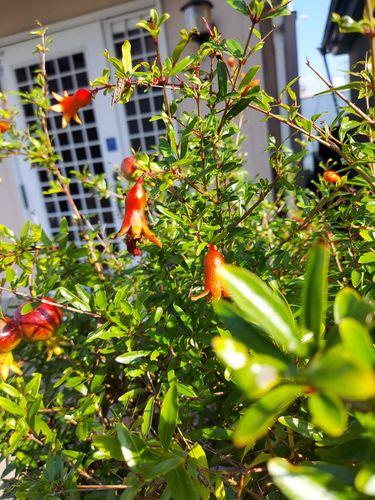 ウォーキング中、門先で見つけたオレンジ色に実を付けた花の名前...