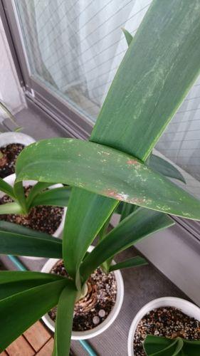 ベランダで鉢植えのアマリリスです。 これは「赤斑病」にかかっ...